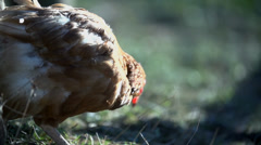 Close shot of chicken searching for kernel on the ground Stock Footage
