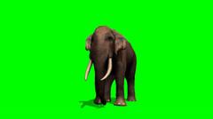 African Elephant walks - green screen - stock footage