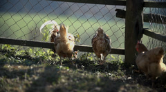 Chickens feed and walk around inside the pen Stock Footage