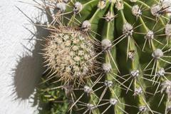 close up of cactus surface, globe shaped cactus with long thorns - stock photo