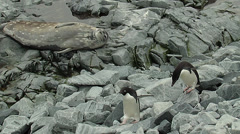Seals and penguins resting on the rocks Stock Footage