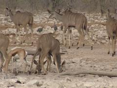 Common eland antelope Stock Footage