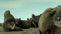 A group of sea lions resting in the coast Stock Footage