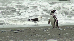 Magellanic penguin and seagull Stock Footage