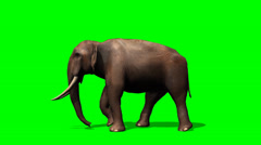 African Elephant walks - green screen - stock footage