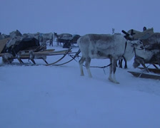 Nenets moving his camp to another place. Stock Footage