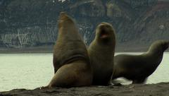 Two Sea lions fighting - stock footage