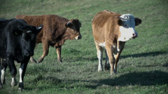 Cows walk on the meadow Stock Footage