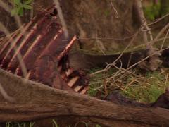Lion  eating antelope Stock Footage