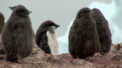 Adelie penguins chicks Stock Footage