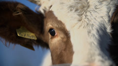 Detail shot of cow's eyes Stock Footage