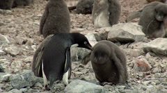 Penguin feed his chick Stock Footage