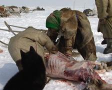Nenets reindeer skinning Stock Footage