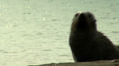 Two Sea lions fighting Stock Footage
