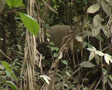 Boar in the jungle Stock Footage