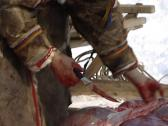Stock Video Footage of Nenets reindeer skinning