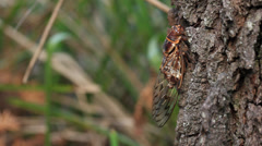 Cicada Call Audio - Double Drummer (Thopha saccata) Stock Footage