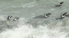 Magellanic penguin swimming Stock Footage