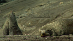 Sea lion lying and two sea lion fighting at the bacground - stock footage