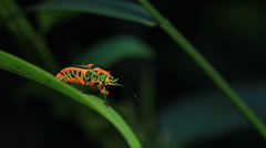 Jewel bug / metallic shield bug Stock Footage