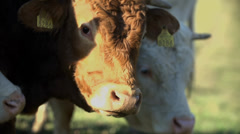 Cattle grazing the meadow Stock Footage