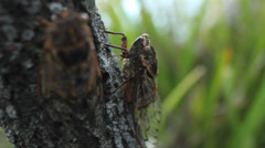 Cicada on tree - Double Drummer (Thopha saccata) Stock Footage
