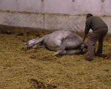 Birth of a Pure Spanish Horse Stock Footage