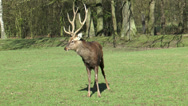 Stock Video Footage of european fallow deer (dama dama)