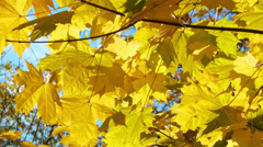 Branch autumn maple leaves Stock Footage