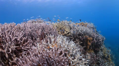 Coral reef with fish and blue water background Stock Footage