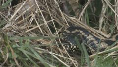 Adder ( Vipera berus) moving in grass Stock Footage