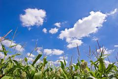 Clouds above the corn field - stock photo