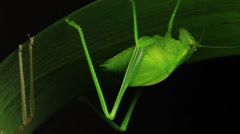Katydid Insect - Tettigoniidae (2 of 2) - stock footage