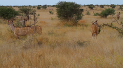 a group of animals feed on the african savanna - stock footage