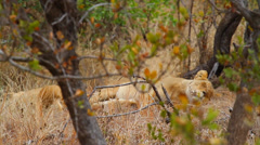 an adult female lion sleeping with a companion - stock footage
