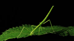 Stick Insect Eating  - Phasmatodea (2 of 5) Stock Footage
