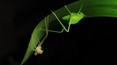 Katydid Insect - Tettigoniidae (1 of 2) Stock Footage