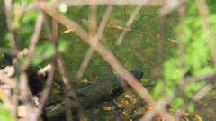 Brown trout close up through bush - stock footage