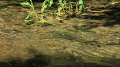 Brown trout holding in pocket - stock footage