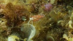 Underwater footage anemone flabell 4 corsica corse mediterranean Stock Footage