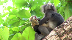 Mother monkey and baby monkey on tree. Stock Footage