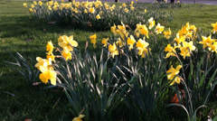 Beautiful daffs blowing in the wind in a green park at easter Stock Footage