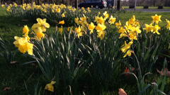 Beautiful daffs blowing in the wind in a green park Stock Footage