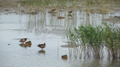 Water birds in the swamp - stock footage