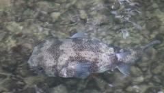 Big puffer fish swimming in a pond  Stock Footage