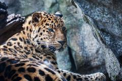 amur leopard resting on rock - stock photo