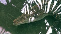 Crocodile swimming underwater Stock Footage