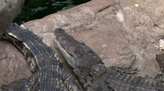 Two crocodiles resting breathing oxygen Stock Footage