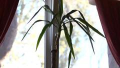 Stock Video Footage of Dracaena on the windowsill - draft