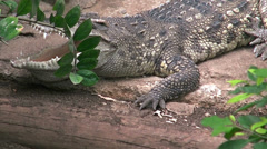 A crocodile sitting with mouth open Stock Footage